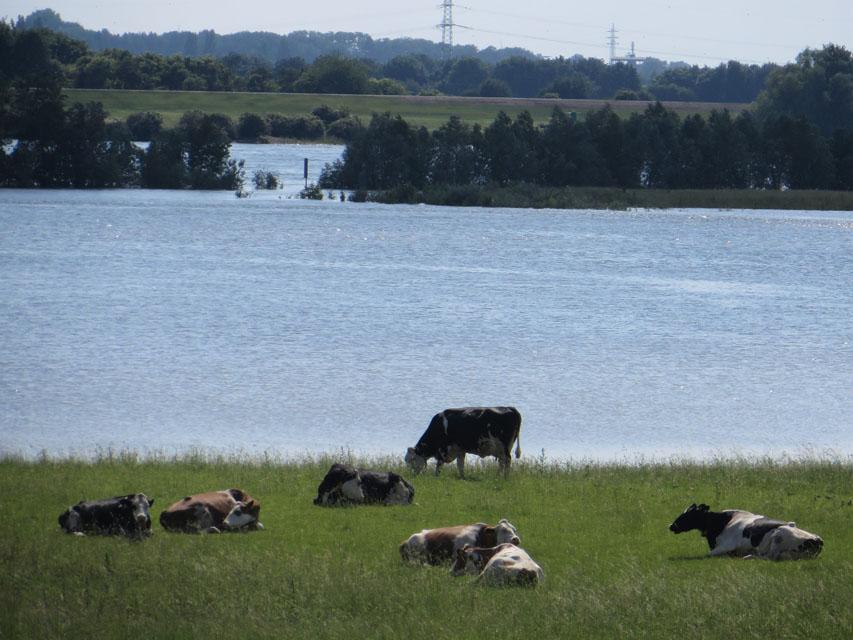 Kühe am Rhein